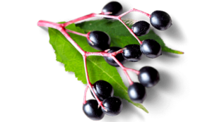 elderberry_site